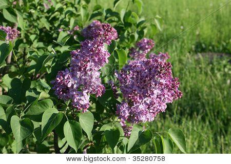 Lilac in a garden