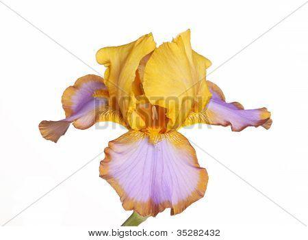 Única flor do íris Cultivar marrom laço isolado no branco