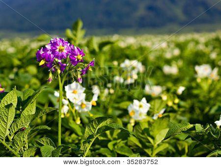 The Potato Flowers