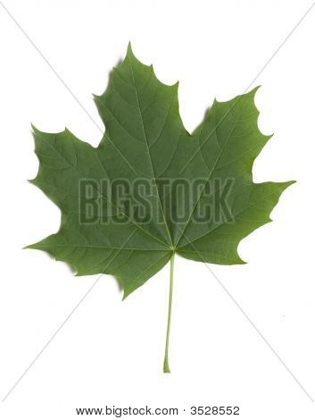 Greeen Maple Leaf On White