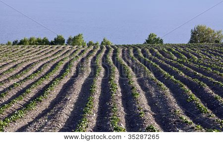 Farmland, potatoes in the ground.