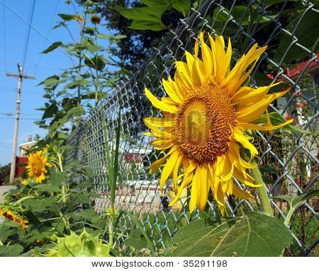 Urban Gardening Sunflowers