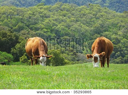 Cows On A Grassy Hill