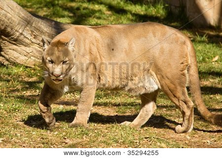 Puma, Cougar Or Mountain Lion