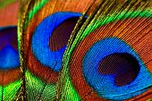 foto of fairy tail  - abstract background with peacock feathers close up - JPG