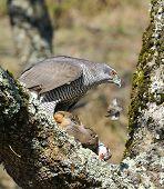 image of goshawk  - Goshawk hunting a partridge in a forest - JPG