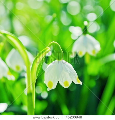 Beautiful White Spring Snowdrops, Close-up