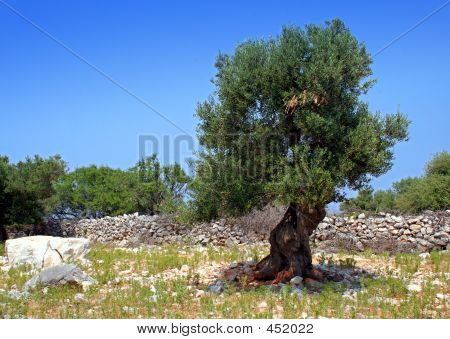 Stone And Old Olive Tree