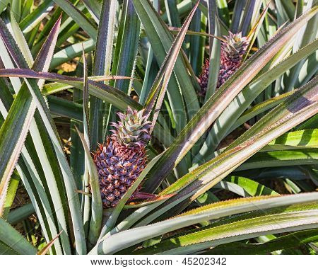 Fresh Pineaple On Bush With Leaves