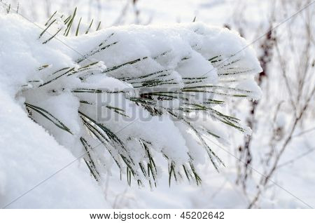 Powdery Snow Covered Pine Branch Small Needle Tips