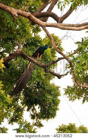 Wild peacock in a tree, Sri Lanka
