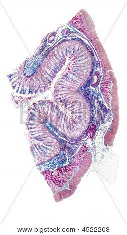 menschliche Auerbach plexus