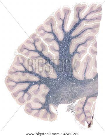 Human Cerebellum