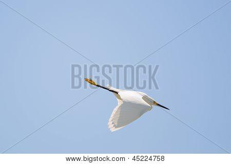 Snowing Egret Diving