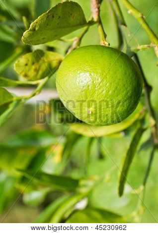 Green Lemon On The Tree