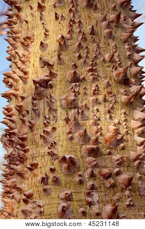 Texture Of The Prickle Tree Trunk