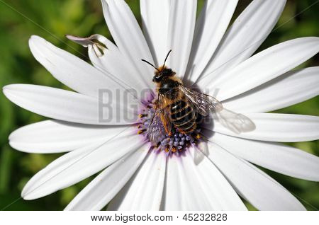 Bee collecting pollen from flower.
