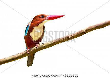 White-throated Kingfisher bird isolated over white