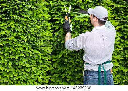 Professional gardener pruning an hedge