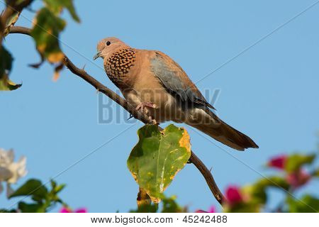 Laughing Palm Dove Laughing