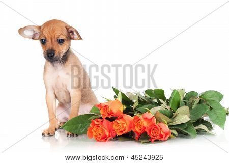 russian toy terrier dog puppy