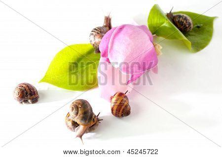 Snails On Pink Flower