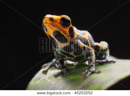 frog on leaf in Amazon rain forest. Poison dart frog Ranitomeya imitator from Jungle in Peru.  Tropical exotic pet animal.