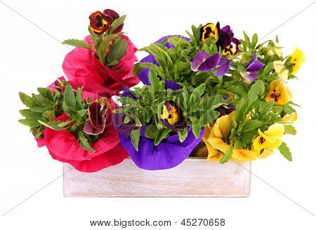Beautiful pansies flowers in wooden crate isolated on white