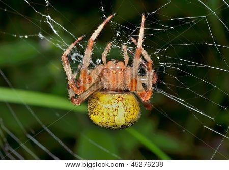 Garden-spider On Spider-web