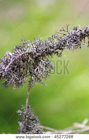 Detail Of A Lichen