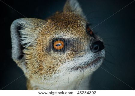 Portrait of a Yellow Mongoose standing on hind legs