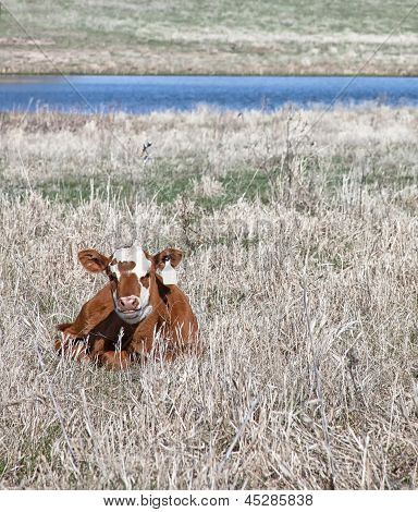 Calf in springtime