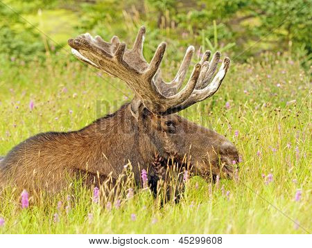 Moose In The Meadow