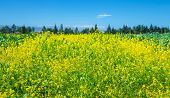 Rapeseed field over clear blue sky, beautiful fresh yellow flowers, floral meadow on the farm, culti