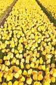 Постер, плакат: Поле красивые Желтые голландские тюльпаны