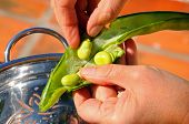 pic of bean-pod  - Removing broad beans from their pods  - JPG