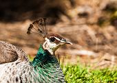 stock photo of peahen  - A peahen peacock displaying its beautiful plumage - JPG