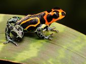 stock photo of orange poison frog  - tropical poison frog kept as exotic pet animal in terrarium - JPG