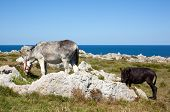 stock photo of headstrong  - Two Donkey grazing in the spanish countryside - JPG