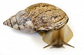 stock photo of hermaphrodite  - The giant snail Achatina  - JPG