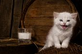 White hungry pussy cat with milk on wooden  background
