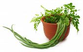 stock photo of oleifera  - Moringa Oleifera or sonjna with fresh leaves on a clay pot - JPG