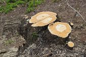 foto of deforestation  - Picturesque tree stump in a park or forest