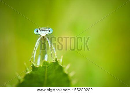 Blue Damselflies on a leaf