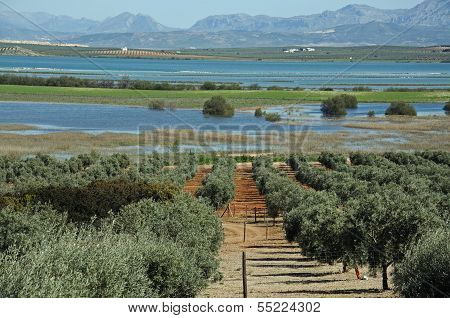 Olive grove and lagoon, Andalusia, Spain.