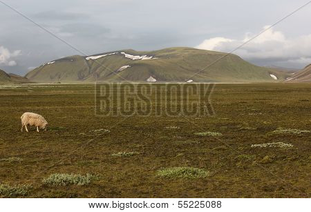 Iceland. South Area. Fjallabak. Landscape With Rhyolite Formations And A Sheep.