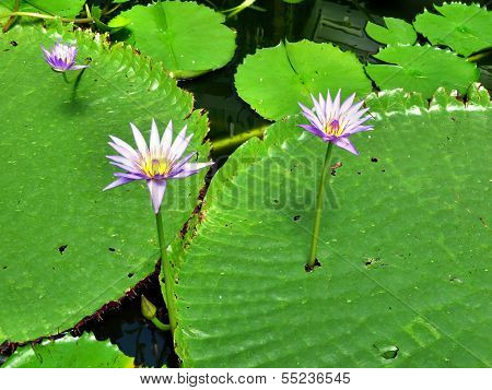 Water Lily Above Lily Pads