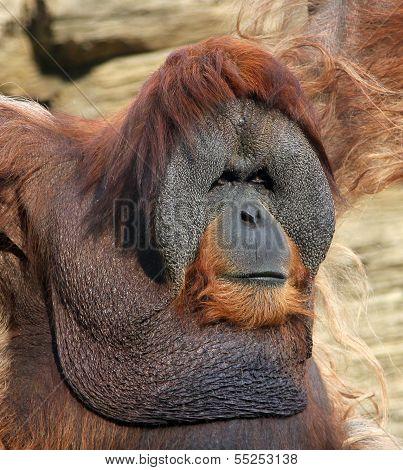 Portrait Of Adult Male Orangutan
