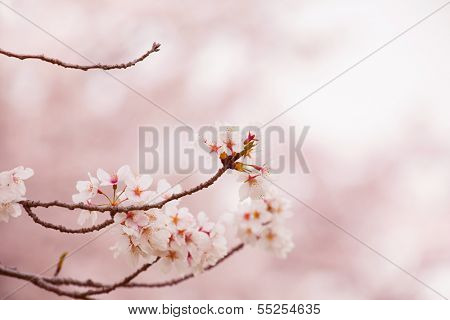 Spring cherry blossoms in soft spring light.