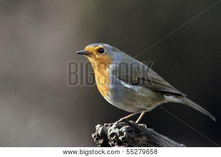 A profile portrait of an adult Eurasian Robin (Erithacus rubecula).